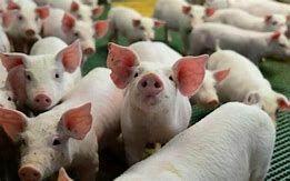 Produção de suínos e aves é debatida em Ciclo de Palestras de Medicina Veterinária