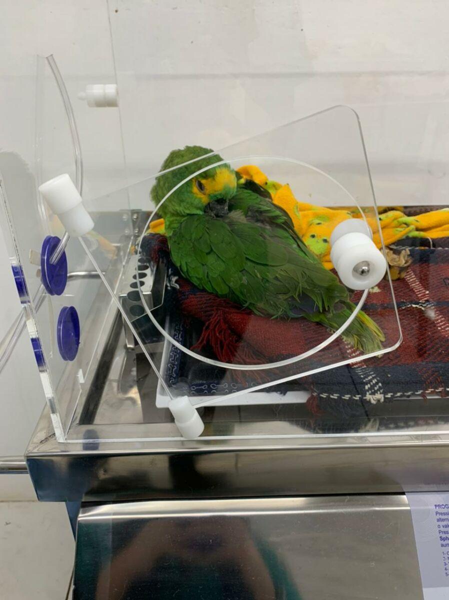 Papagaios resgatados na região de Paranavaí são acolhidos pela Unicentro
